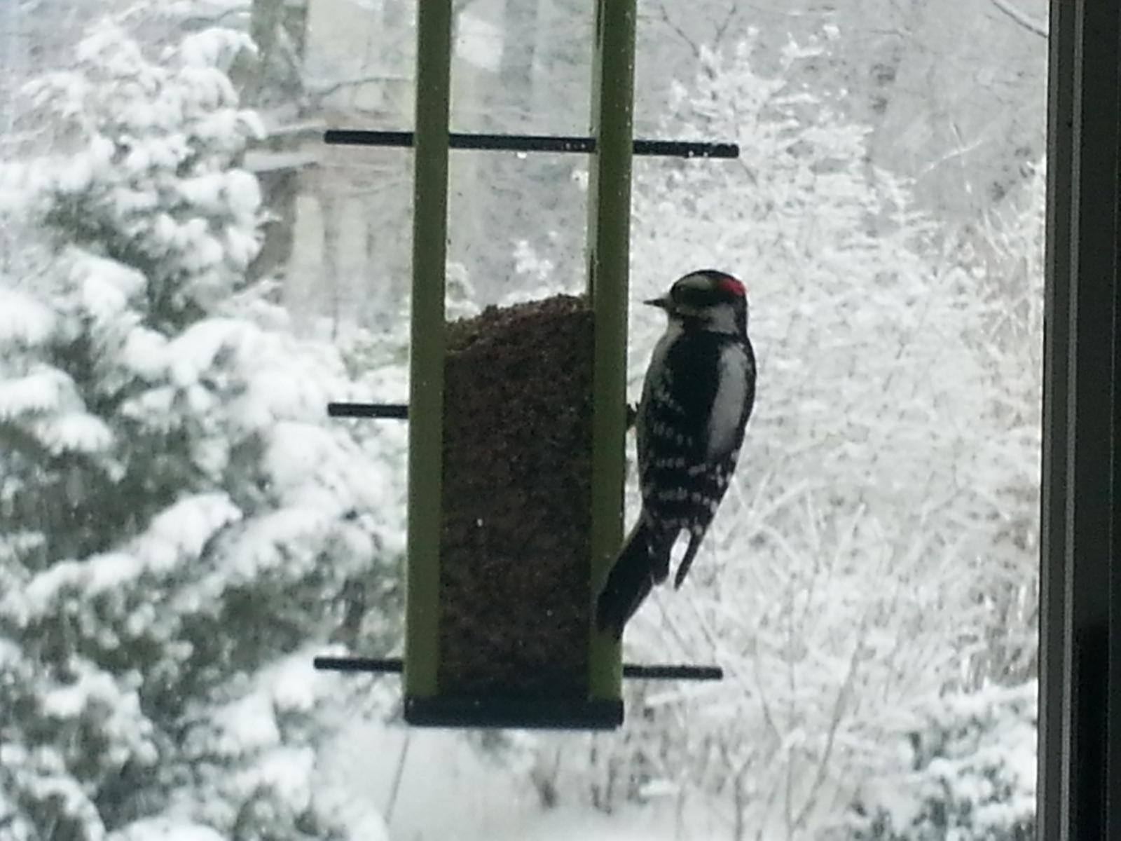 Last snow I hope!-3-5-2015-woodpecker-2.jpg